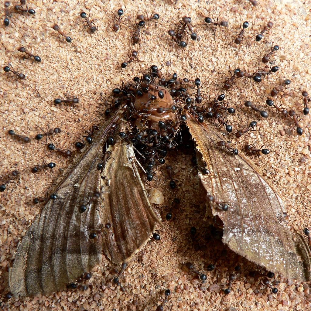 Qué comen las hormigas
